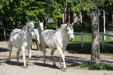 White Horses Lipizzaners, Lipica, Slovenia
