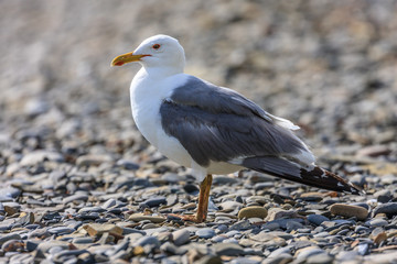 Beautiful grey seagull standing on rocky sea beach at seaside on natural background. Close up view