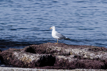 Mediterranean Gull basking in early morning sun, standing on roc