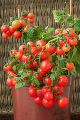 Red cherry tomatoes growing in a pot