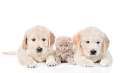 little kitten lies between two golden retriever puppies. isolated on white