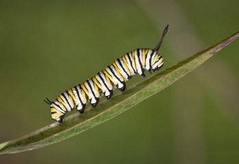 Yellow, black, and white striped monarch caterpillar crawling on a green leaf against a blurred green background