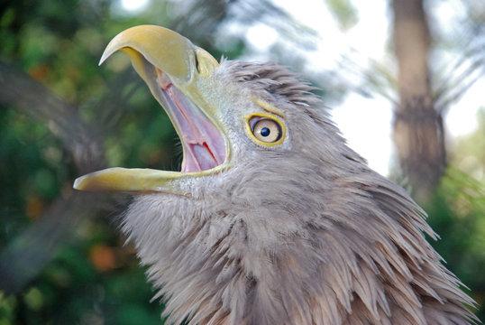 Portrait of a juvenile White-tailed eagle (Haliaeetus albicilla),