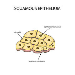 The structure of the squamous epithelium. Infographics. Vector illustration on isolated background