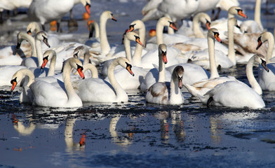 Group of Swans standing on the ice covered River Danube at Zemun in the Belgrade Serbia.
