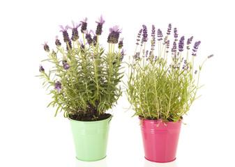 Lavender Stoechas and Lavandula
