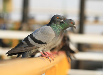 Row of pigeons on yellow metal bar