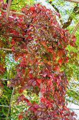 wild grapes in autumn