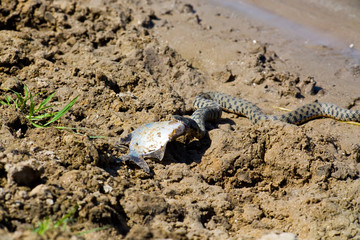 Snake eating a fish in the Volga Delta, Astrakhan, Russia