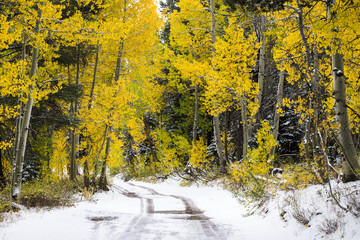 Tire tracks lead down a snowy road through an aspen grove illuminated with fall color in Hope Valley, California