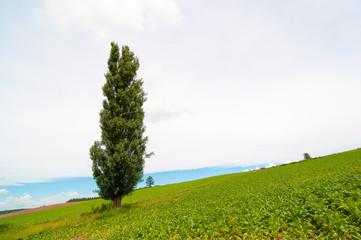 夏の北海道 美瑛 ケンとメリーの木