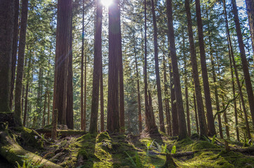 Sun shining through dense forest in Olympic National Park
