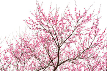 isolated plum blossom tree