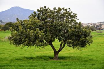 carob tree