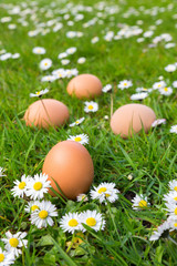 Chicken eggs in spring grass with daisies