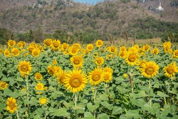 Sunflower field, Beauty in nature