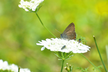 Satyrium acaciae, Sloe Hairstreak butterfly  in wild meadow