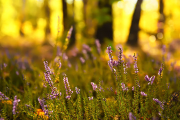 delicate flowers of purple heather in a forest glade. Natural view of the forest in the background. Beautiful morning sunlight.
