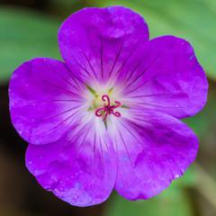 Late Geranium