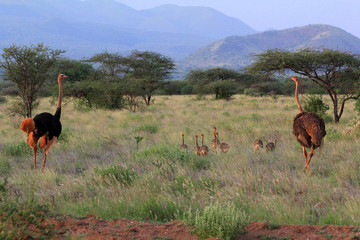 Ostrichs on savanna. Tsavo national park in Kenia