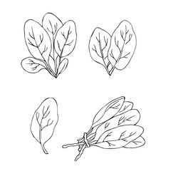 vector monochrome contour illustration of spinach leaves