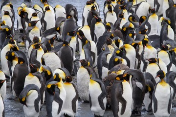 King Penguin Colony at Saint Andrews Bay, South Georgia