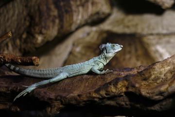 lazy iguana resting on a branch