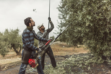 Spain, men using vibrator and stick for olive harvest