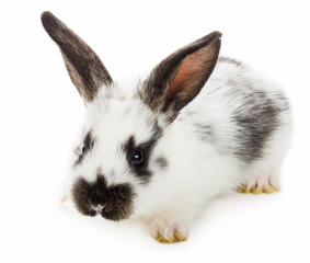white-black rabbit