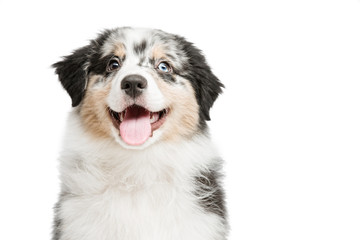 funny and cute portrait puppy Aussies or Australian shepherd, isolated background. Wall mural