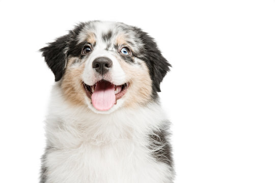 funny and cute portrait puppy Aussies or Australian shepherd, isolated background.