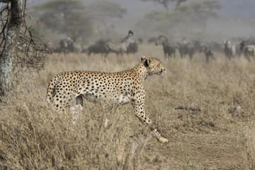 male cheetah running through bush savanna on background ungulate