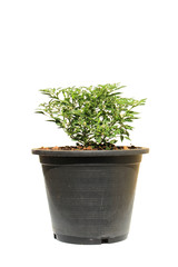 pepper tree pot in pot on isolated