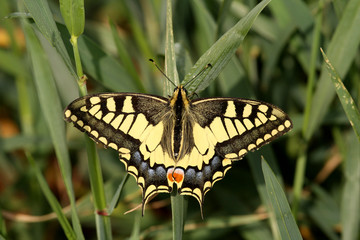Old World Swallowtail. Papilio Machaon