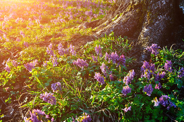 Spring sunset landscape - blooming mauve flowers of Corydalis halleri under the tree