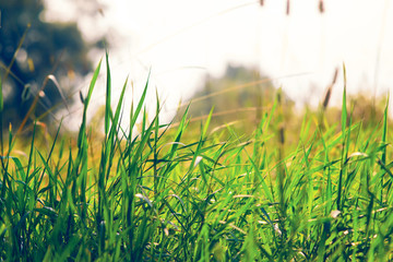 Green grass in the meadow.