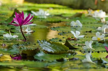 lila bluete seerose