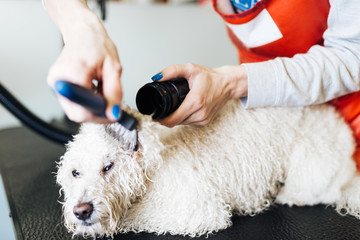 White poodle at grooming salon having bath.