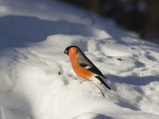 Red-colored Male of Eurasian Bullfinch, Pyrrhula pyrrhula, close-up portrait on snow, selective focus, shallow DOF