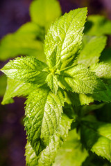 Fresh fragrant mint leaves