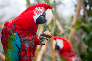 Red macaw eating a walnut with strong beak