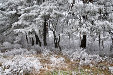 Winter landscape in mountains with frost, dry grass and pine trees
