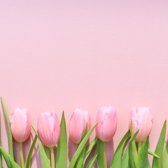 Pink tulips on the pink background. Flat lay, top view.  Valenti