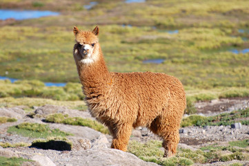 Amazing Alpaca in the Andes of Chile