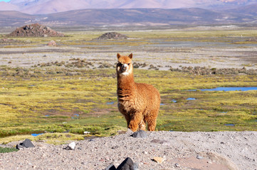 Wonderful Alpaca in the Andes of Chile