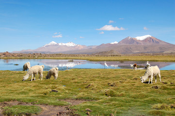 Alpaca Herd in the Andes of Chile