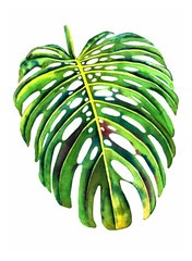 Hand painted watercolor monstera leaf. Botanical illustration, isolated on white background.