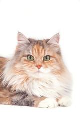 Siberian cat on white background. Cat lying
