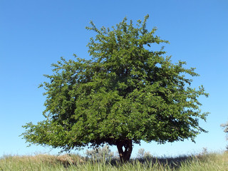 Mulberry tree in steppe