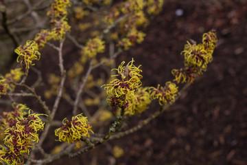 Flowering witch hazel (Hamamelis x intermedia) branch